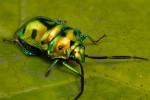 Hemiptera (True Bugs): Heteroptera: Scutelleridae