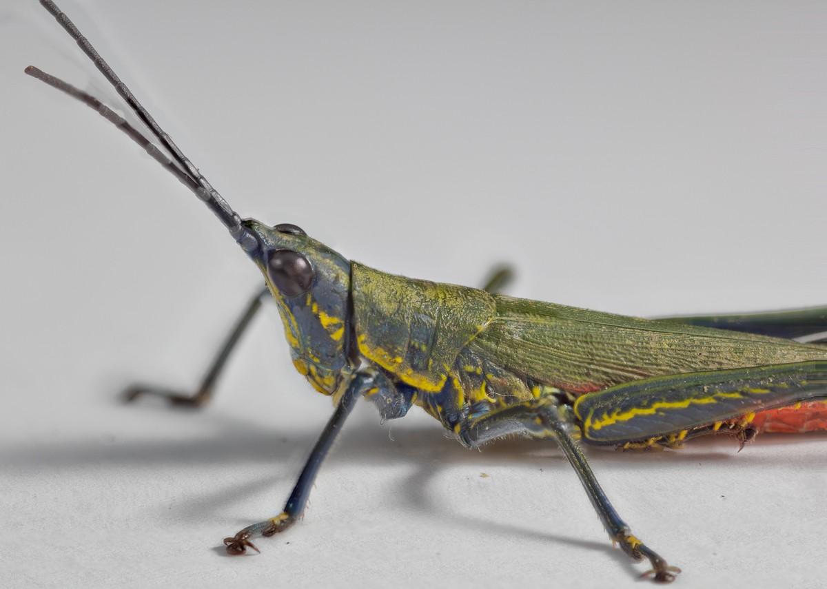 Q Steer Grasshopper Orthoptera (Grasshoppe...